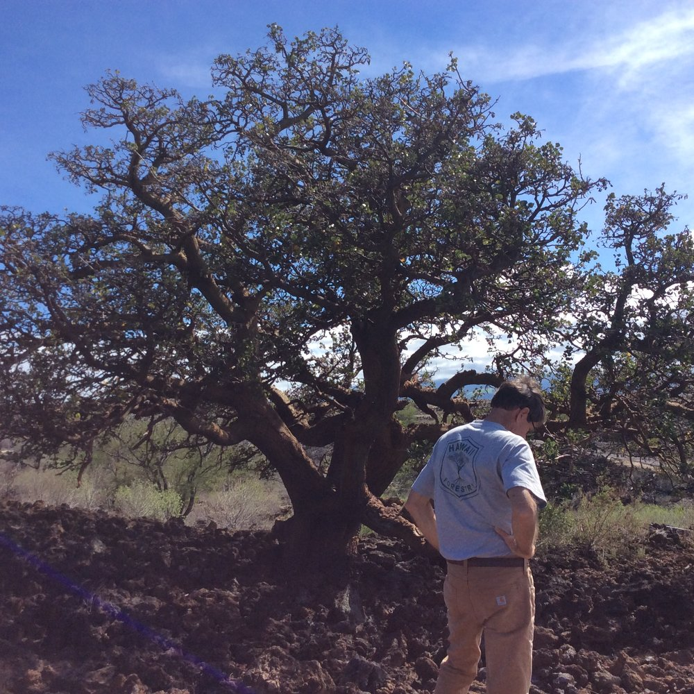 Native wiliwili tree at the Waikoloa Dry Forest Preserve.