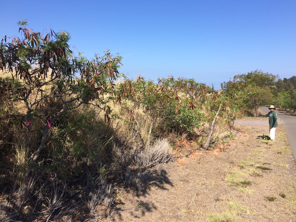 2016 Firewise Day: Kanehoa residents took fuels reduction into their own hands with a $500 grant from State Farm and $5,000 grant from HWMO to remove haole koa from roadsides. Here is a before...