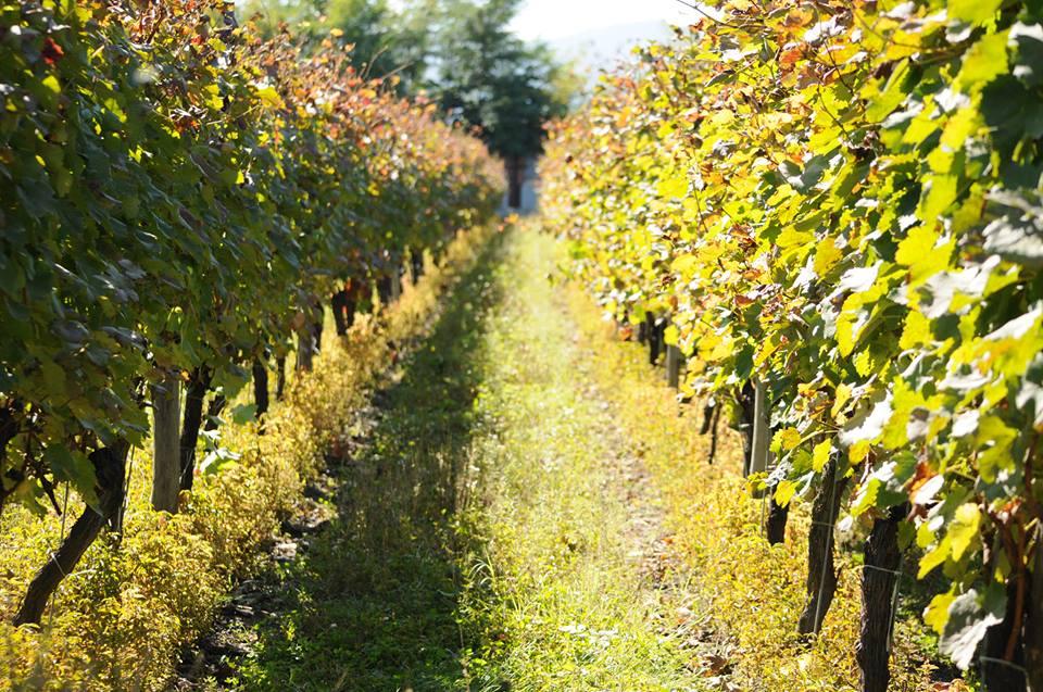 Кахетинский виноградник. Фото: Primetime news