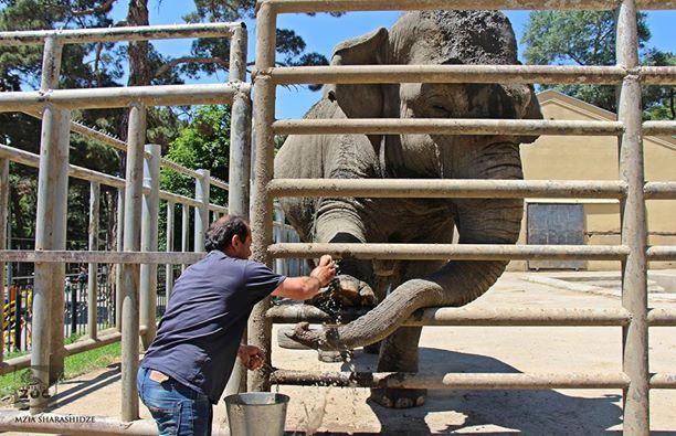 Педикюр для слонихи Малки. Фото: Тбилисский зоопарк