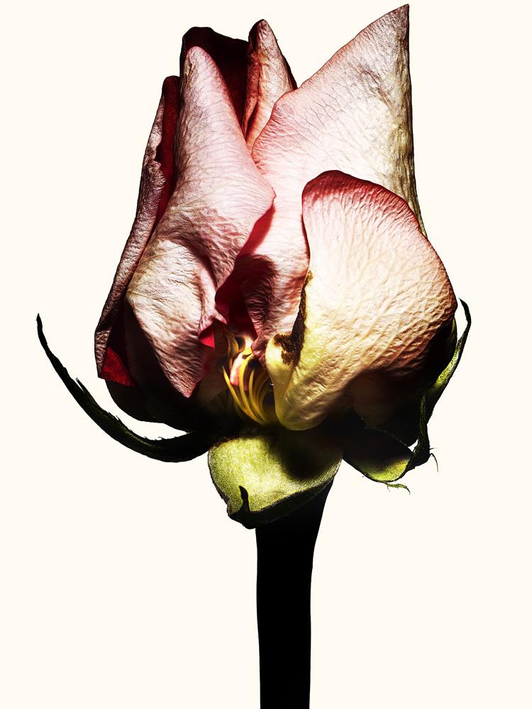 65_rose.jpg