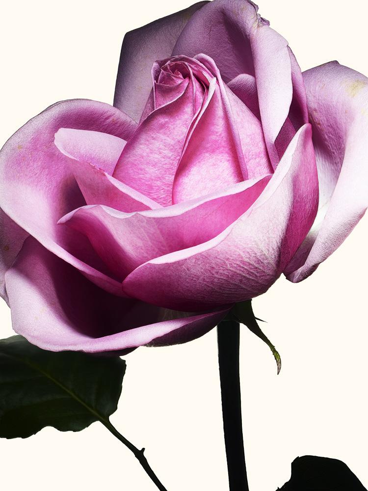 66_Rose.jpg