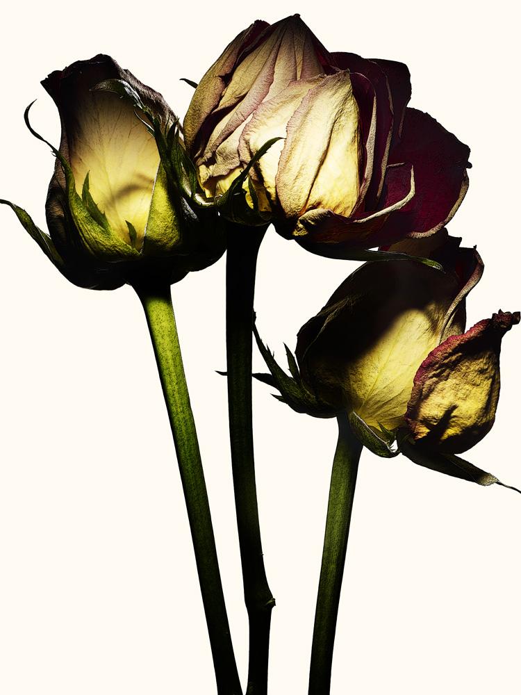 67_Rose.jpg