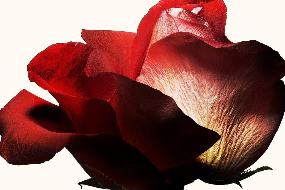 71_Rose.jpg