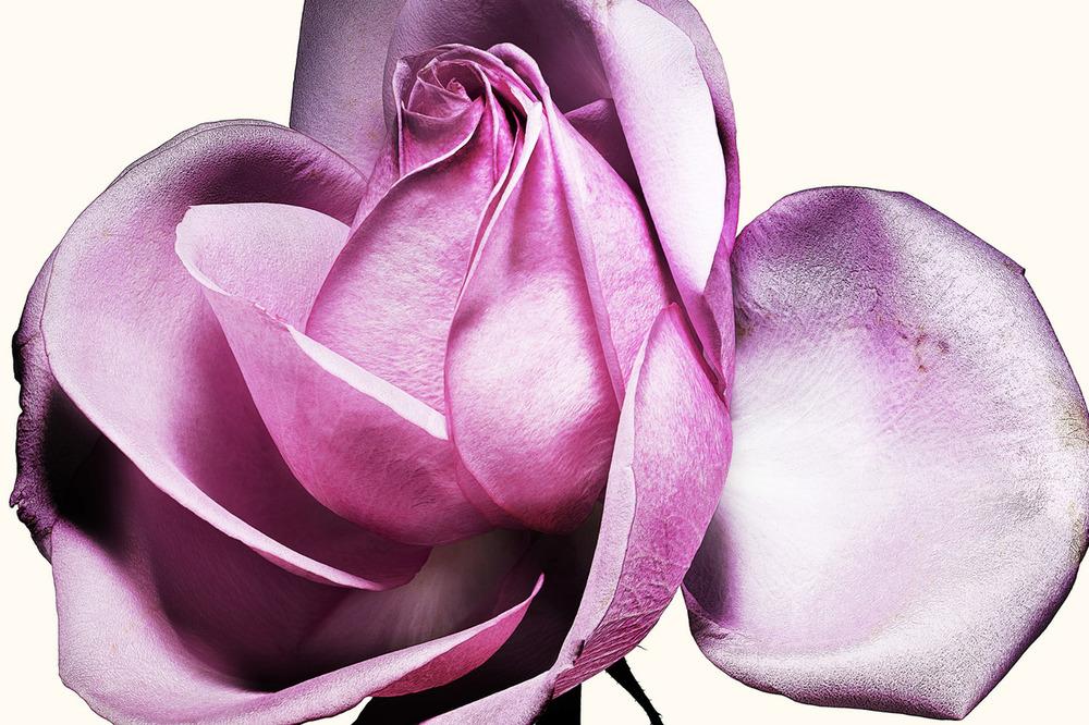 72_Rose.jpg