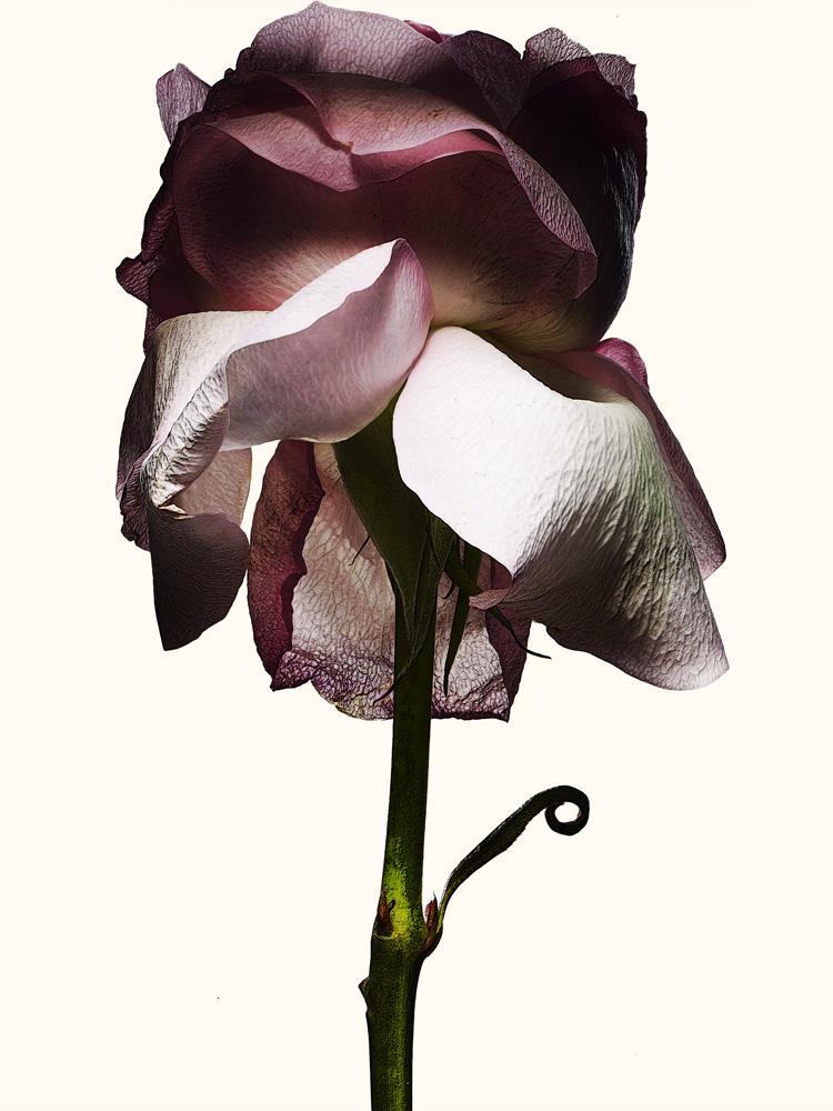75_Rose.jpg