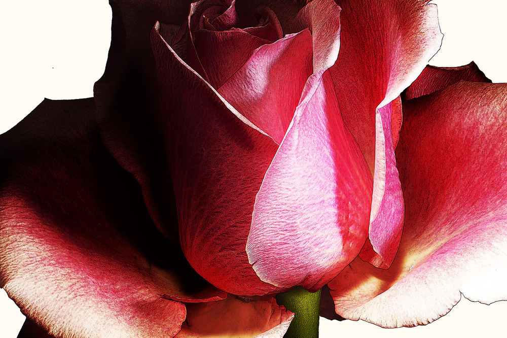 77_Rose.jpg