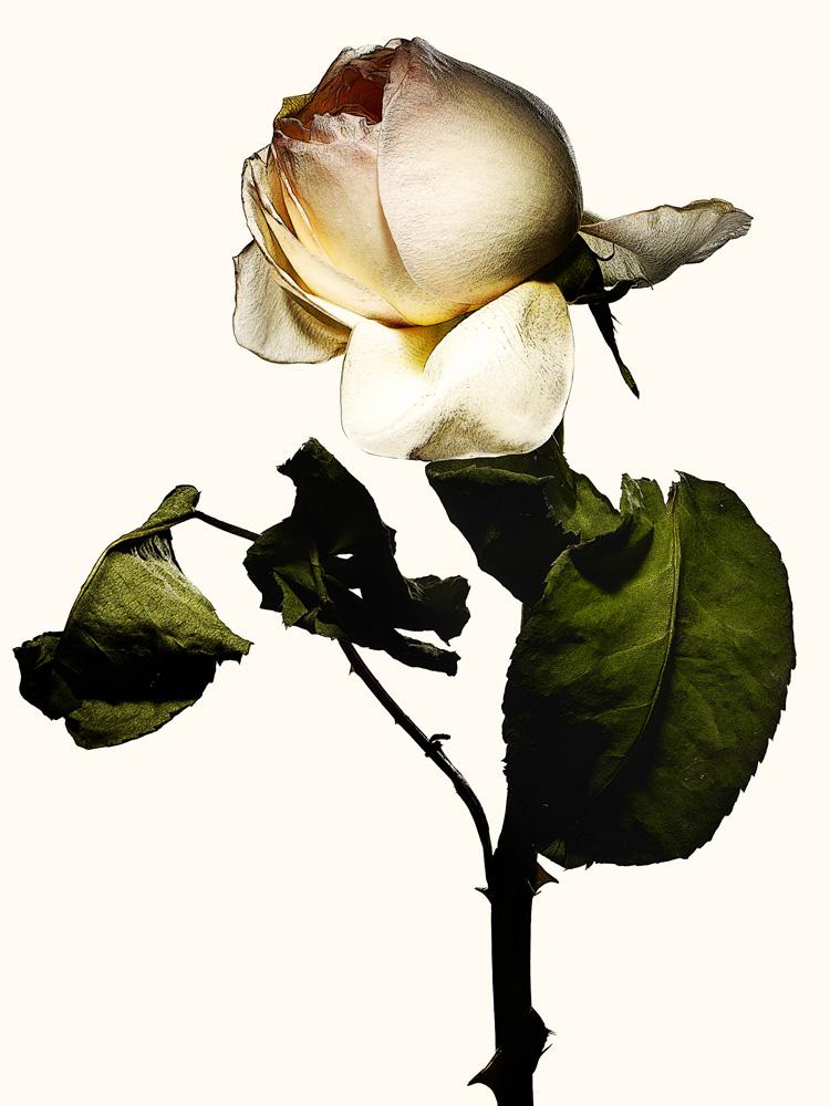78_Rose.jpg