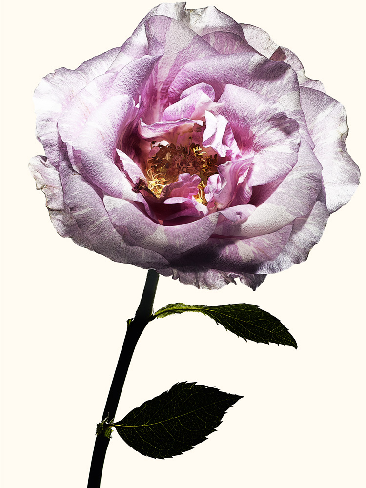 79_Rose.jpg