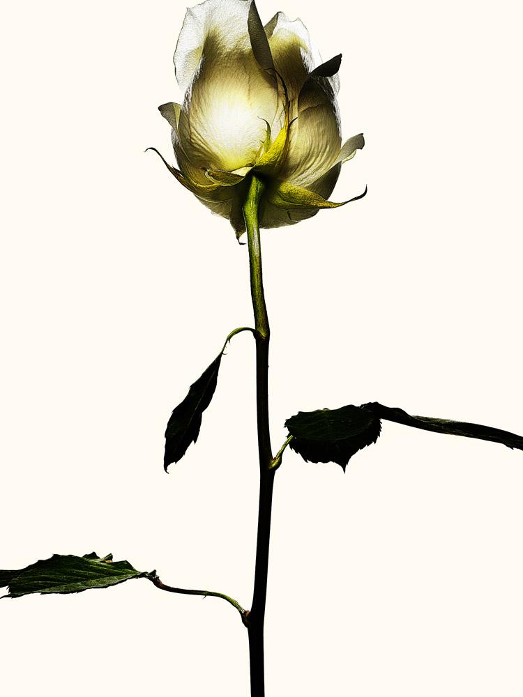80_Rose.jpg