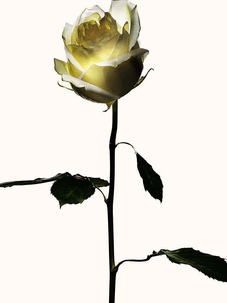 81_Rose.jpg