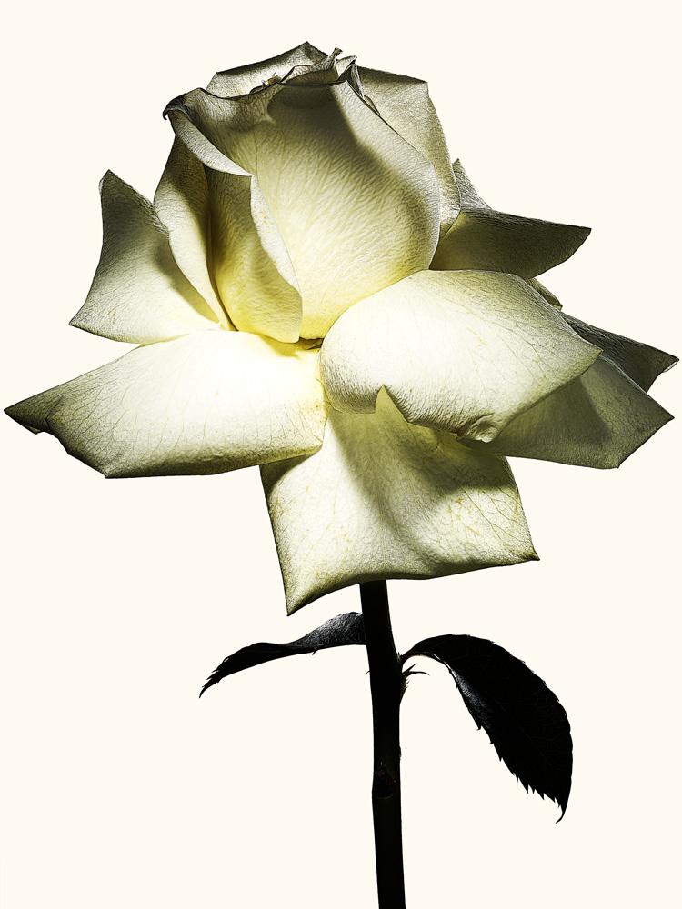 83_Rose.jpg