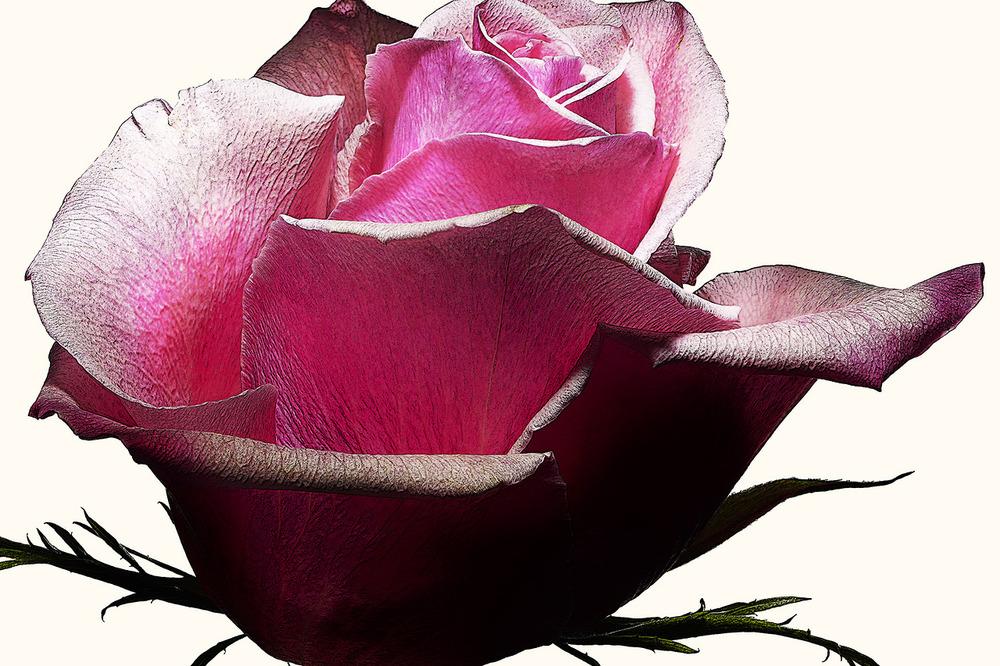 82_Rose.jpg
