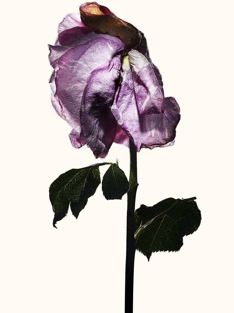 90_rose•15-3-812-825 copy.jpg