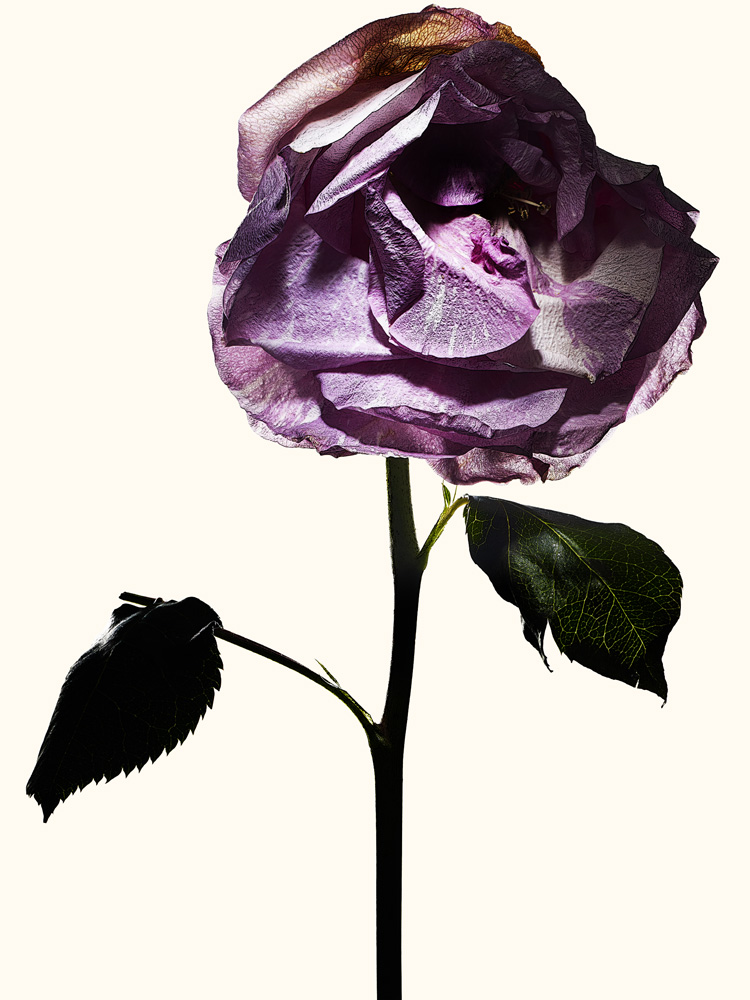 91_rose•15-4-827-836 copy.jpg