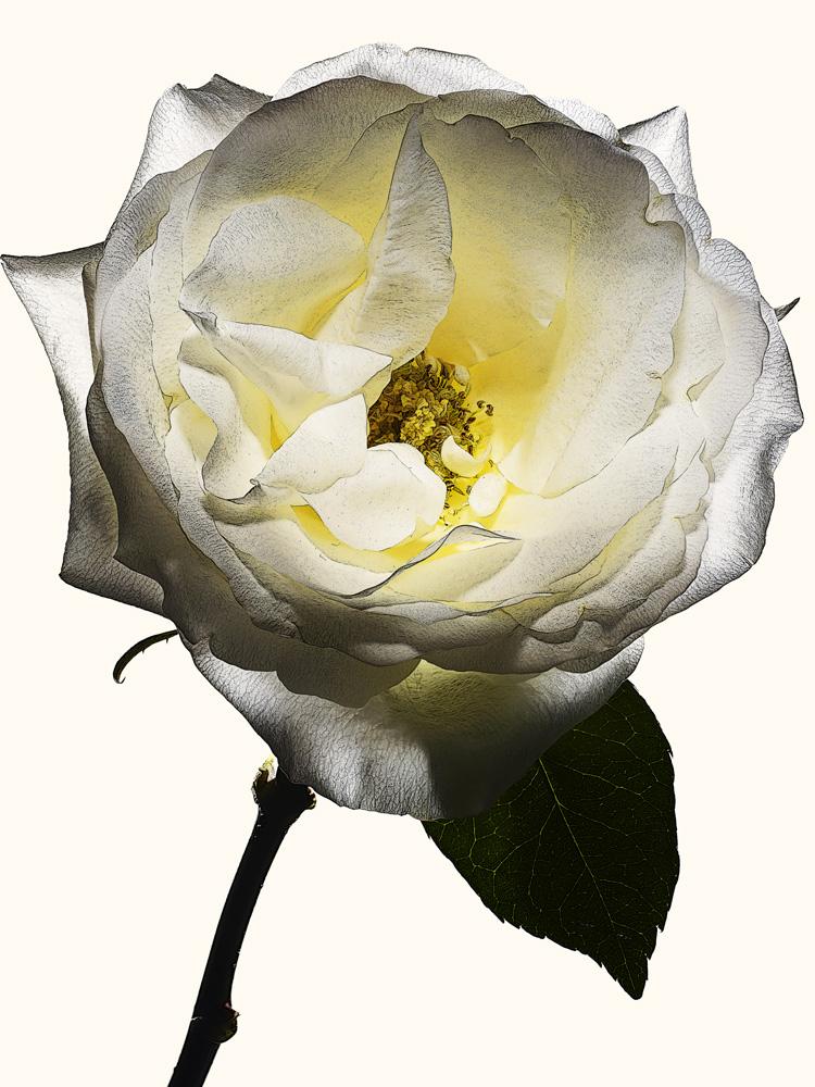 97_rose•24-1-518-546 copy.jpg
