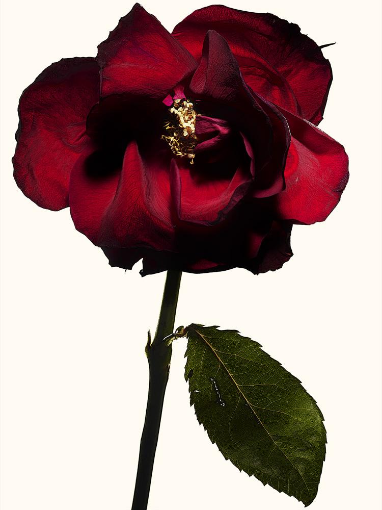 98_rose•22-4-666-692 copy.jpg