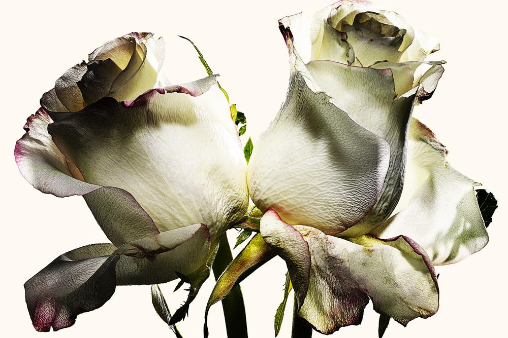 100_rose•25-4-635-655 copy.jpg