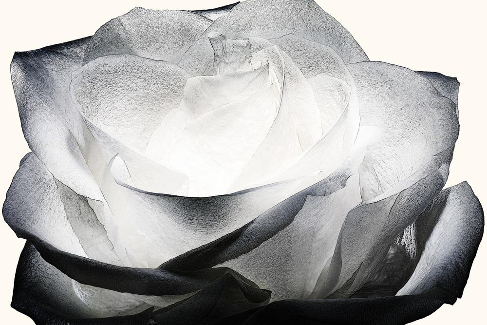 101_rose•23-1-472-509 copy.jpg