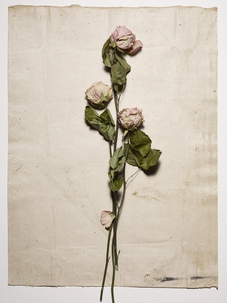 dozen roses - 2_pw