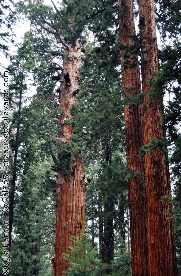 KyleHanson_CreativeBoulevardsgeneral sherman tree 4.jpg