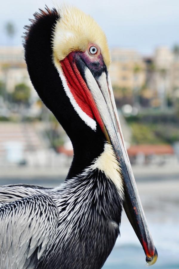 Oceanside Pier Pelican