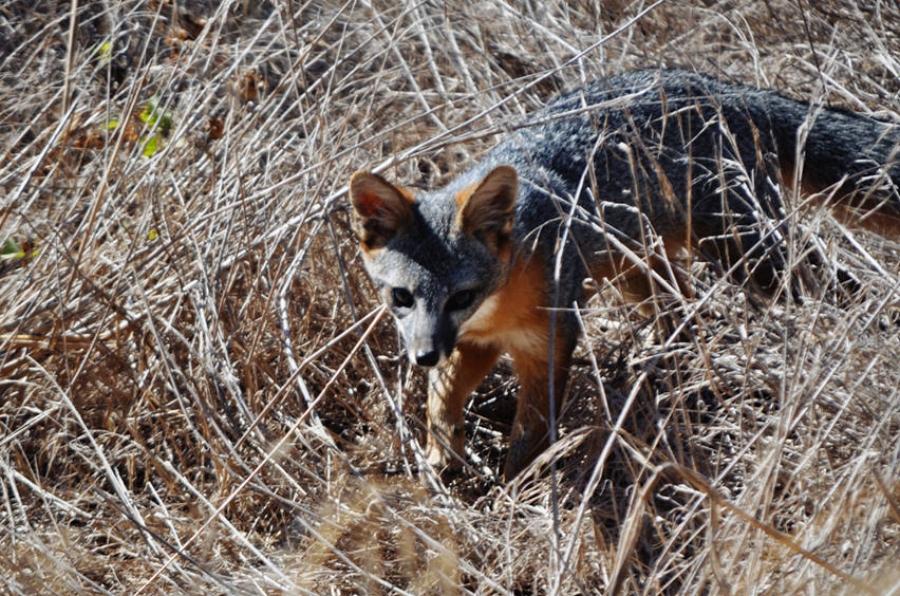 Channel Island Fox