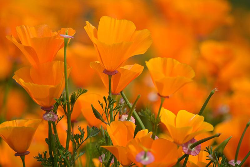 Chino Hills State Park Poppies