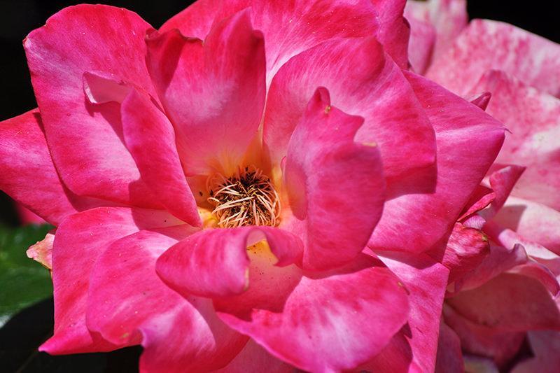 Inez Grant Parker Memorial Rose Garden