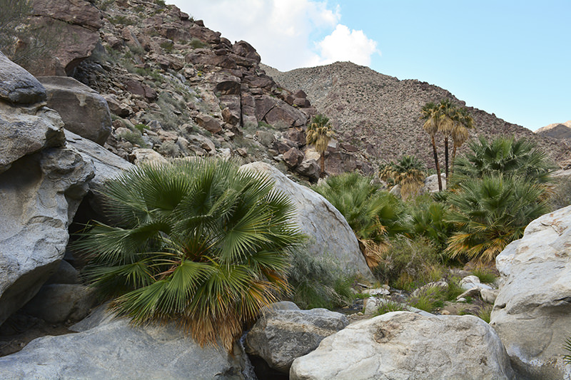 Borrego Palm Canyon