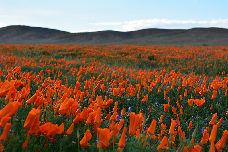 Antelope Valley California Poppy Reserve Wildflowers