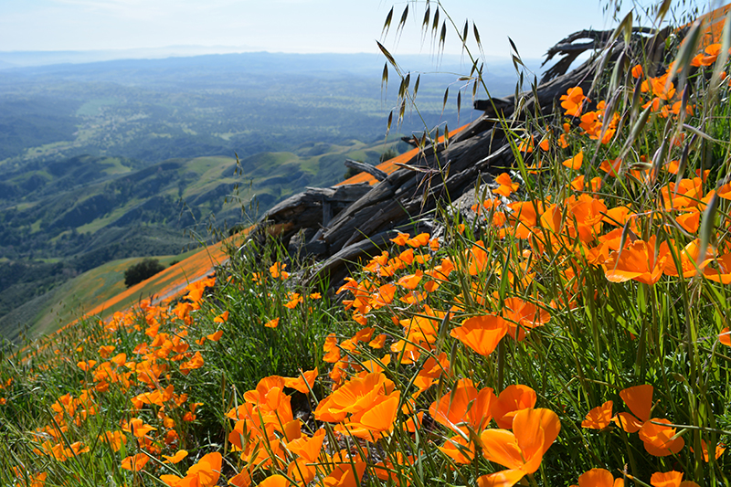 Figueroa Mountain Recreation Area Wildflowers