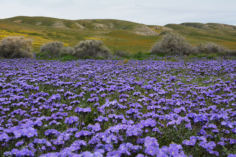 Carrizo Plain National Monument Wildflowers