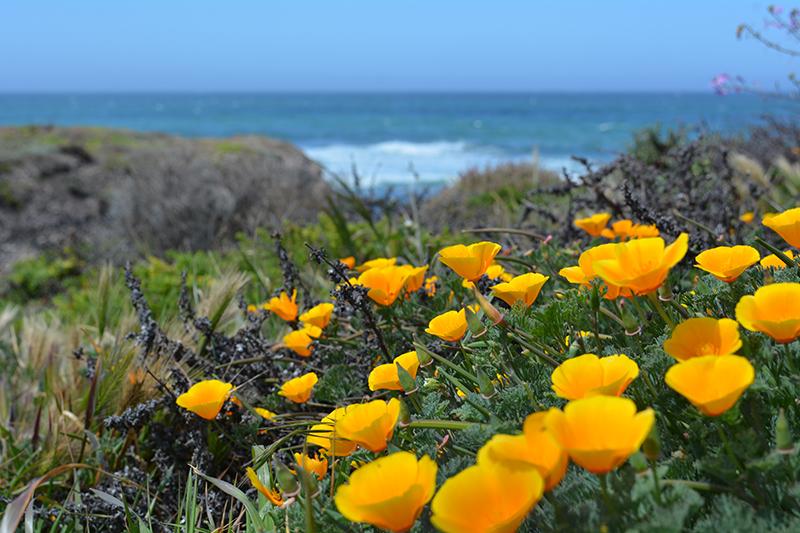 Montaña de Oro State Park Wildflowers