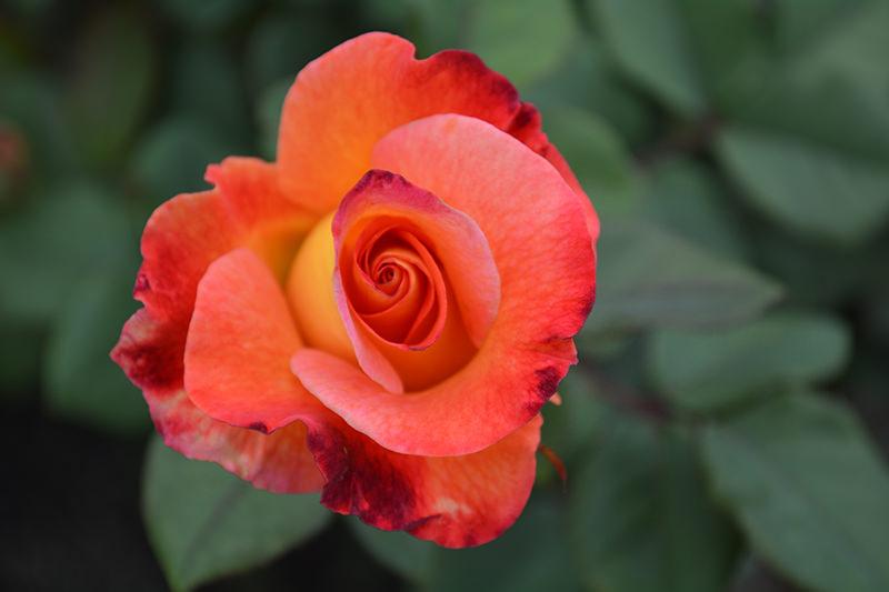Inez Grant Parker Memorial Rose Garden Balboa Park