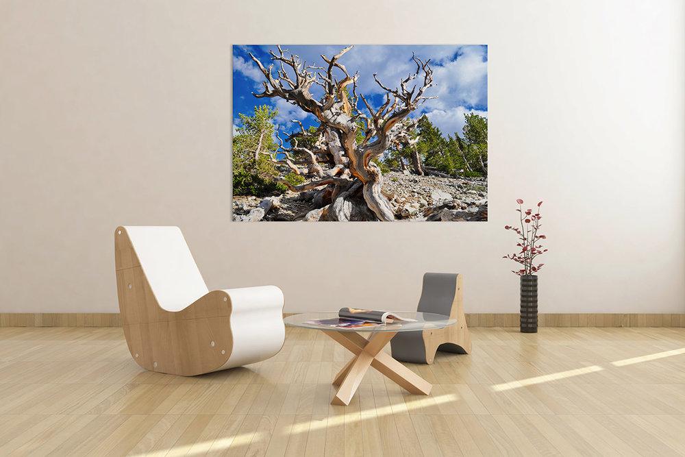 Ancient Bristlecone Pine Forest Fine Art Print