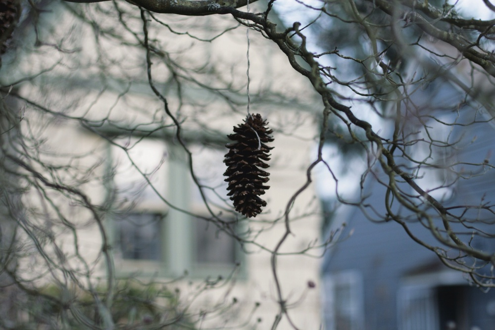 pine cone hanging from a tree in my neighborhood