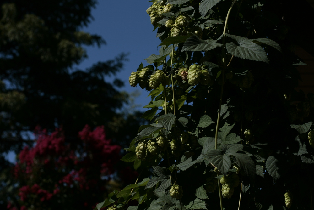hops and crepe myrtle