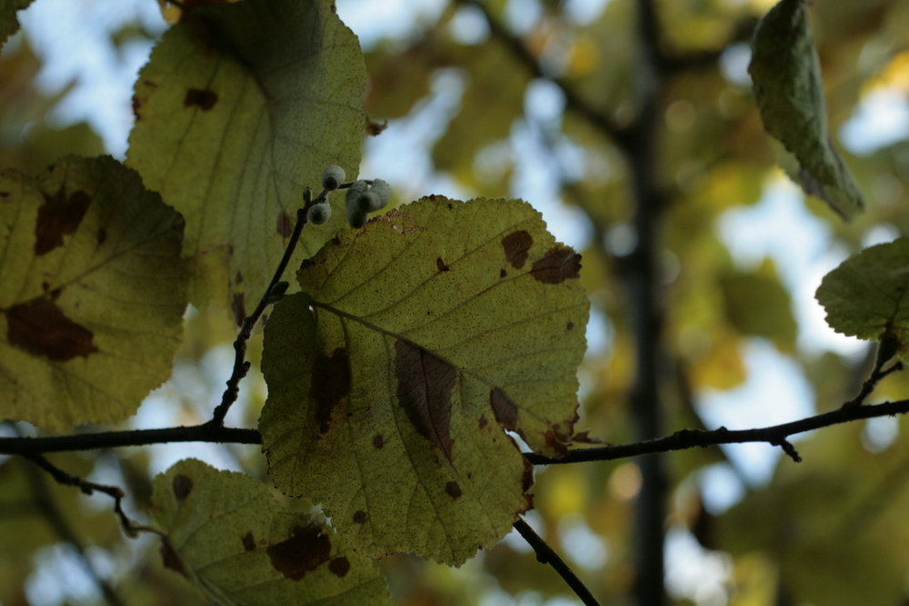 hazelnut leaves