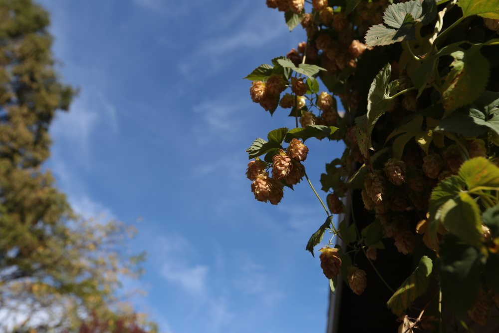 Hops in the autumn sun