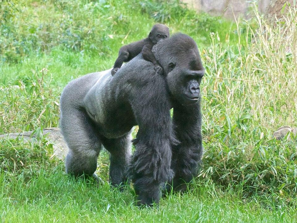 Zoo gorilla.jpg