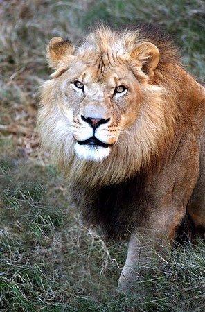 Zoo lion.jpg