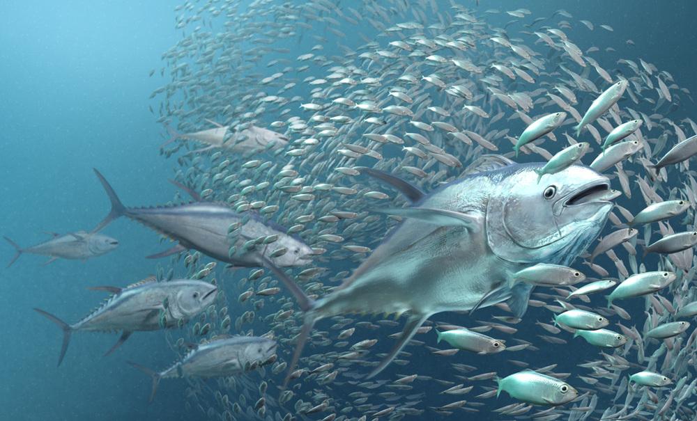Tuna Feeding