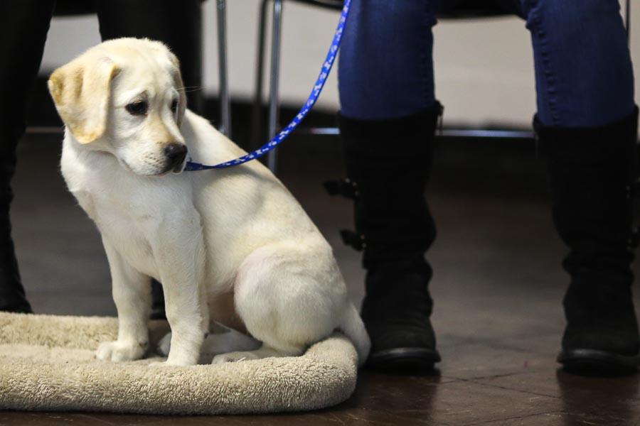 lab-puppy-on-leash.jpg