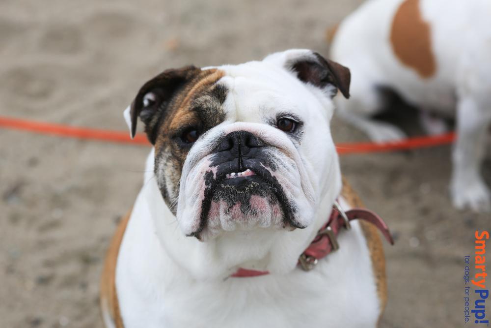 Hanna-bulldog-2014-2.jpg