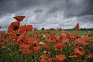 Field of Poppies 1.jpg