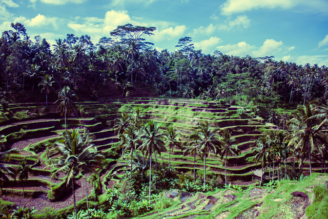 Rice Terrace Fields of Tegalalang
