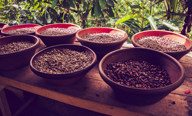 Coffee beans with their different processes from freshly picked beans to roasted.