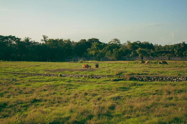 Canggu Cows