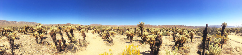 Cholla Garden super bloom.